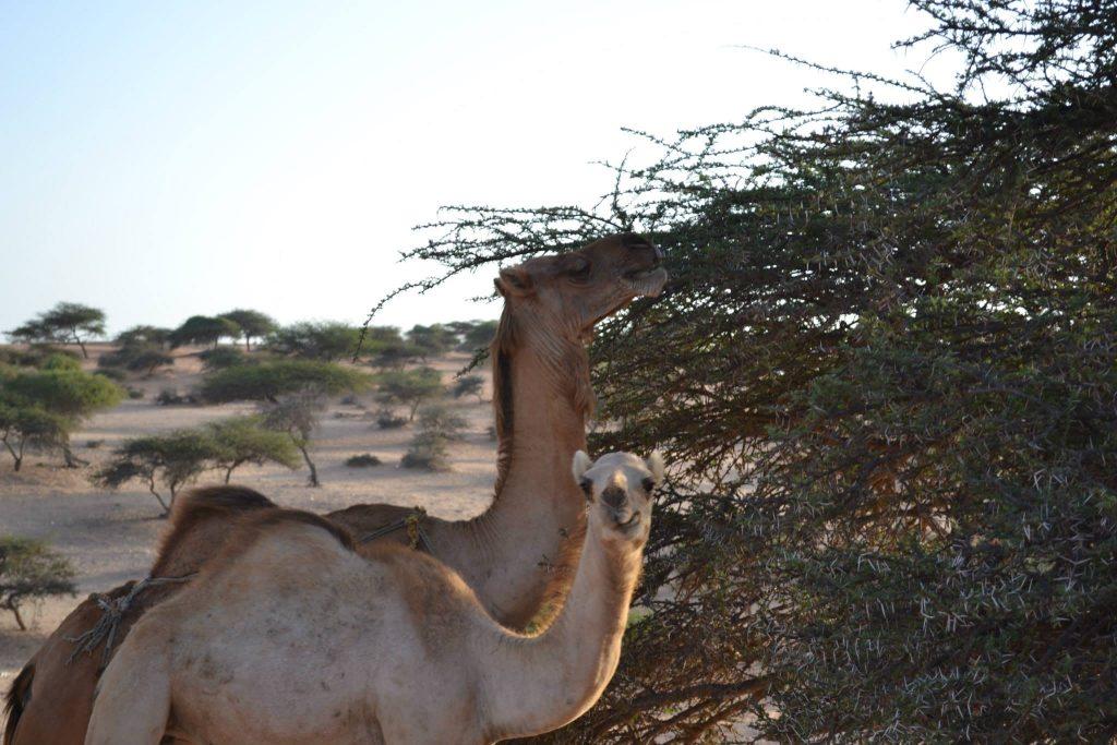 Nouakchot. Mauritania. Desierto