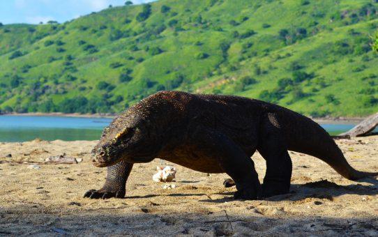 En tierra de dragones de Komodo. De Lombok a Flores en barco III